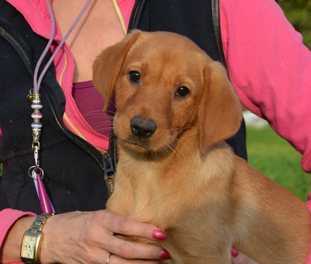 True Fox Red Labrador Puppies Countryways Gundogs International Gundog Trainer Breeder