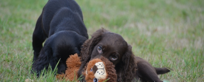 Part Trained Cocker Spaniel Gun Dogs For Sale